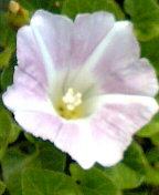 昼顔(花)